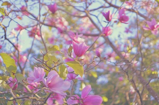 Emme Hope Slow Blog San Francisco Botanical Gardens Magnolia Tree 1