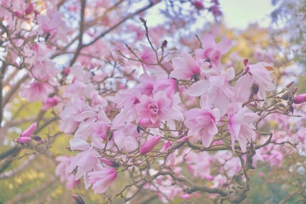 Emme Hope Slow Blog San Francisco Botanical Gardens Magnolia Tree 4..