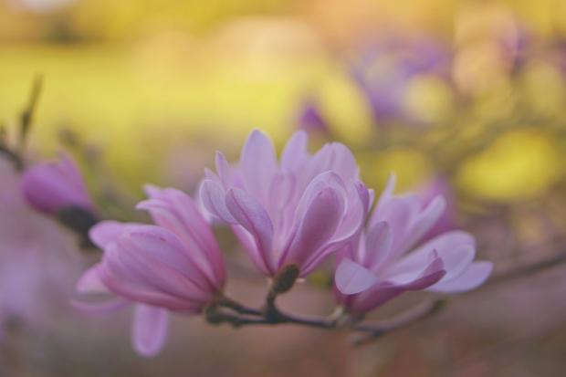 Emme Hope Slow Blog San Francisco Botanical Gardens Magnolias 1