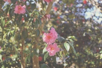 Emme Hope Slow Blog San Francisco Botanical Garden Pink Blooms Camellia 1