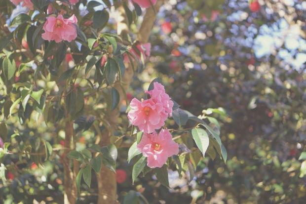Emme Hope Slow Blog San Francisco Botanical Gardens Pink Blooms Camellia 1