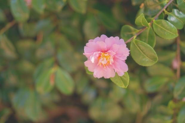 Emme Hope Slow Blog San Francisco Botanical Gardens Pink Blooms Camellia 2