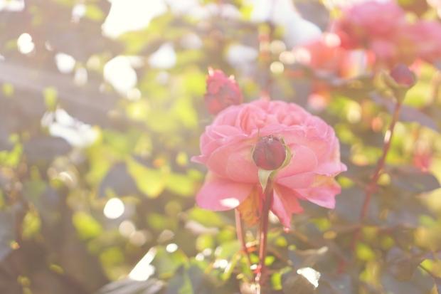 International Rose Test Garden Portland Slow Travel Slow Life emmehope.co copyright 2018