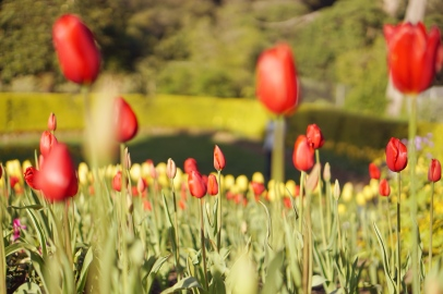 Tulip Garden Golden Gate Park San Francisco California emmehope.co copyright 2019
