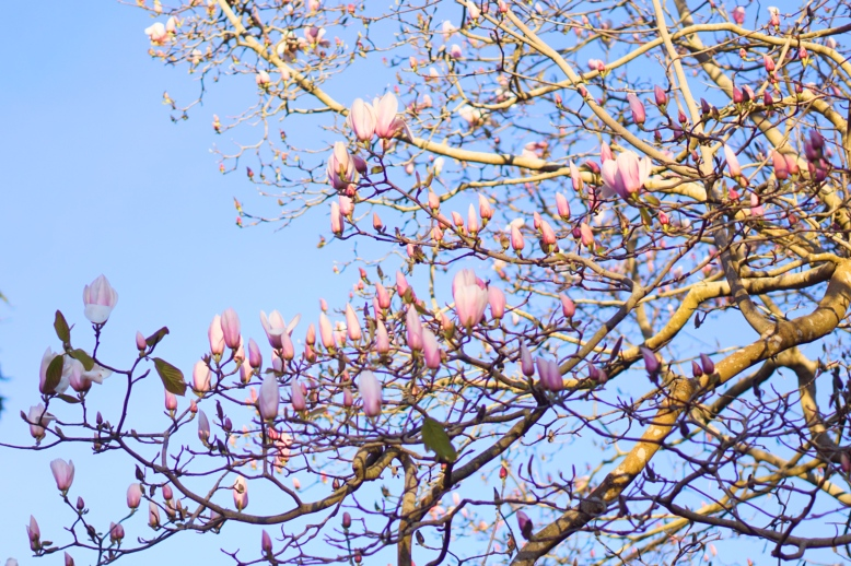 San Francisco Botanical Gardens Magnolia Tree Magnolia Flowers emmehope.co Copyright 2018