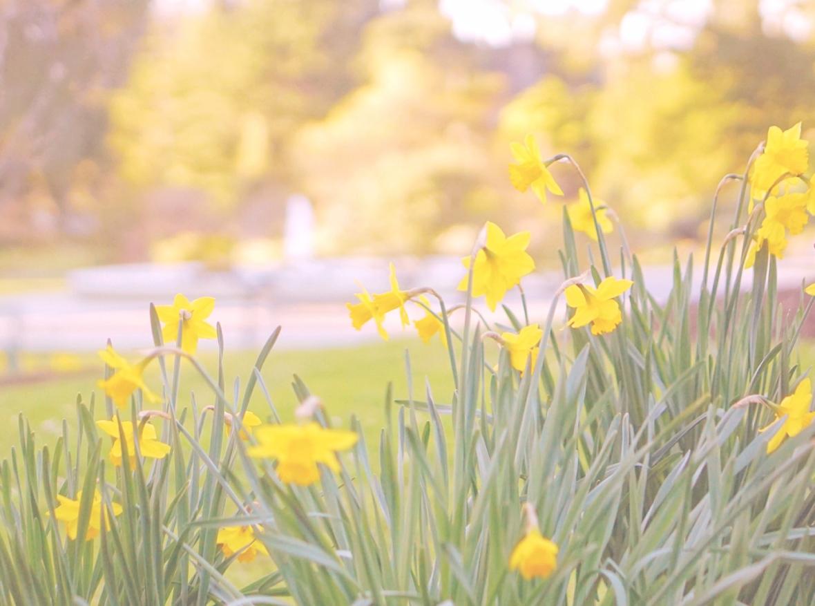 san-francisco-slow-life-blog-daffodils-yellow-blooms-san-francisco-botanical-garden-slow-travel-san-francisco-copyright-2017-emmehope.co-rszd.jpg